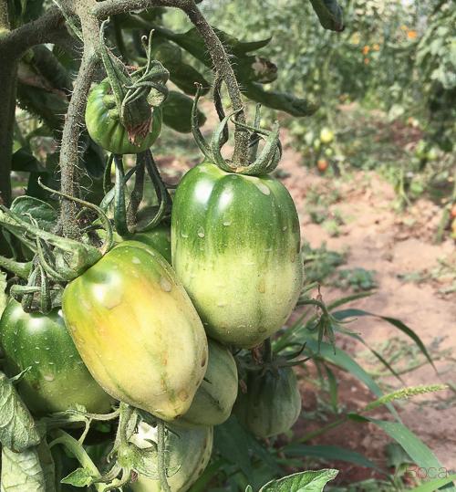 tomates horta ecologica pla de munt palafolls benvinguts a pages baco y boca